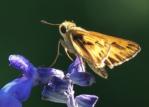 Fiery Skipper on Salvia farinacea