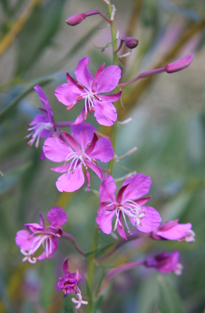 Fireweed Epilobium angustifolium flowerhead