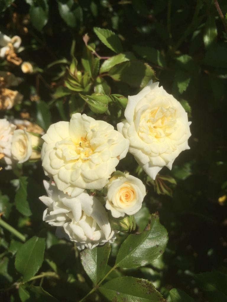 Rosa 'WEOpop'