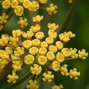 Foeniculum rubrum