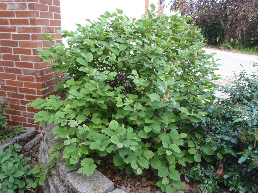 Fothergilla gardenii 'Mt Airy'