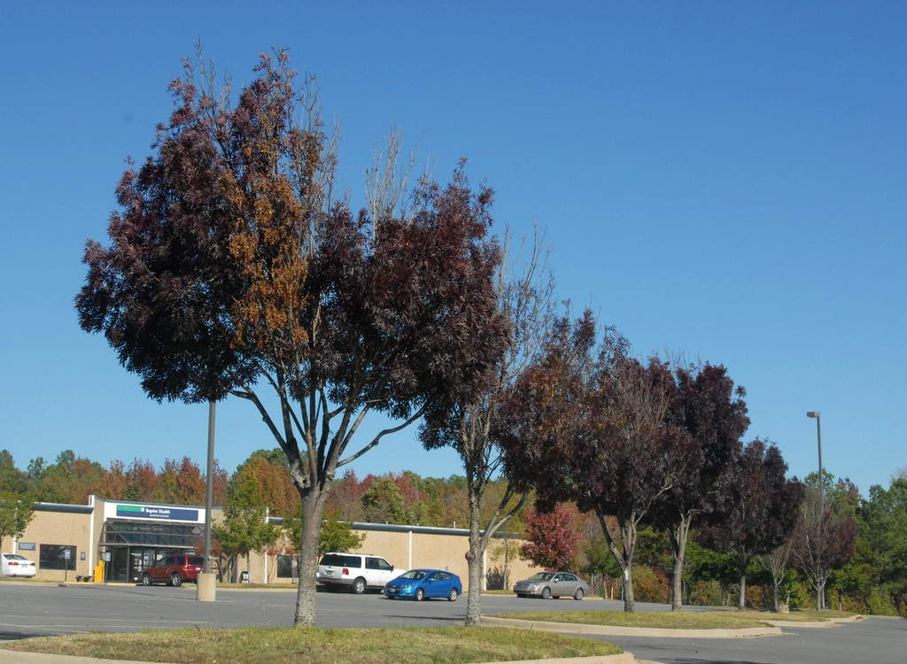 'Raywood' Fall Form Tree Line