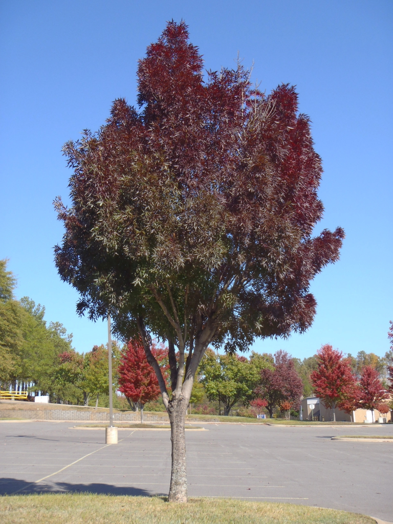 'Raywood' Fall Color Form