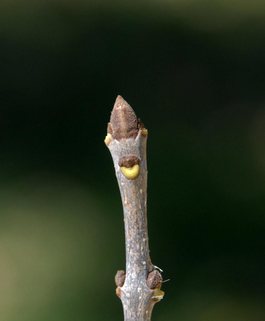 Fraxinus pennsylvanica Bud