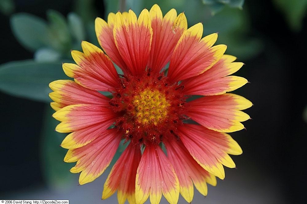 Closeup of flower-'Arizona Sun'