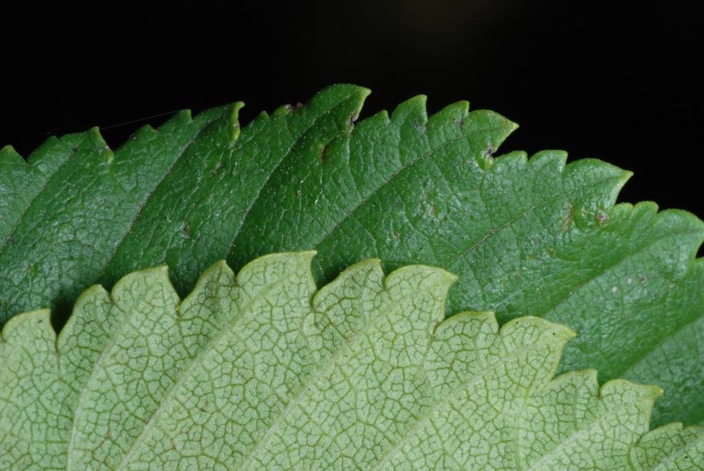Serrated leaf margin (Brighton, NY)-Mid Fall