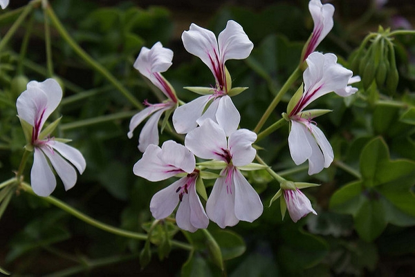 Geranium manculatum blooms and buds