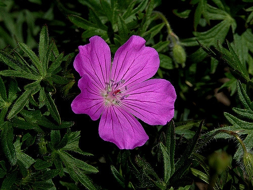 Geranium manculatum bloom and leaves