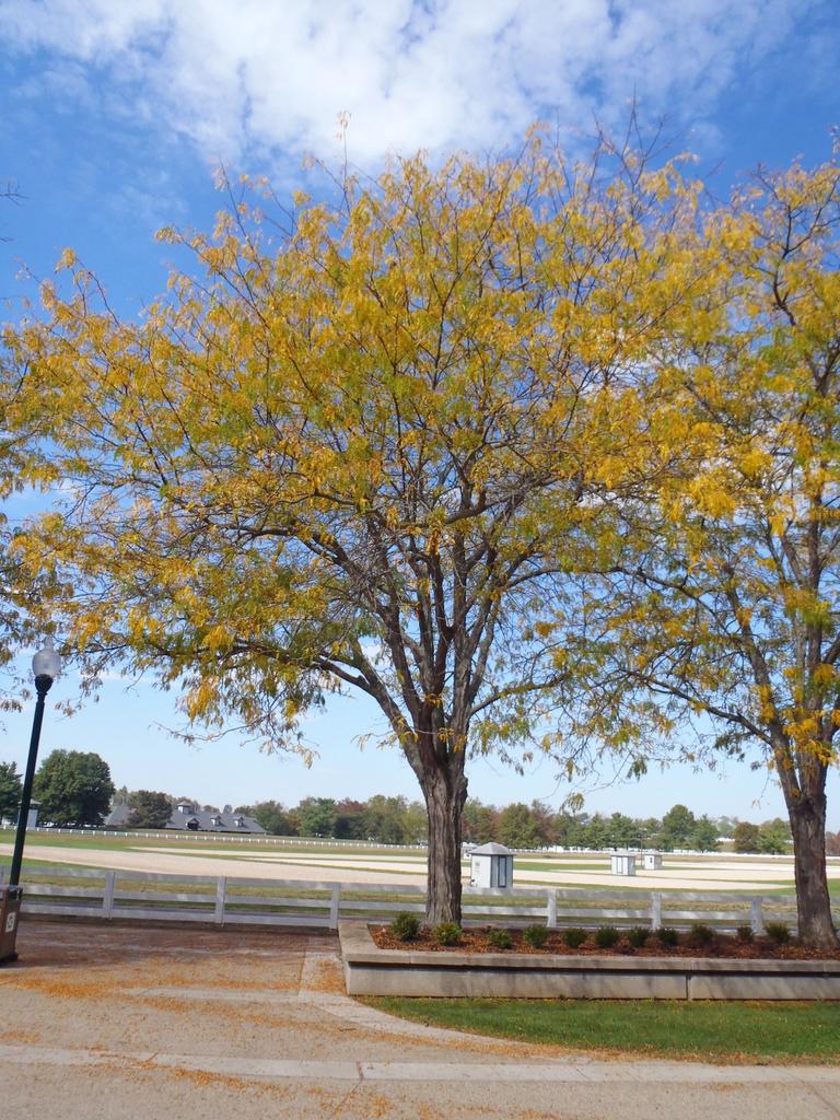Gleditsia triacanthos v inermis Fall Color Tree