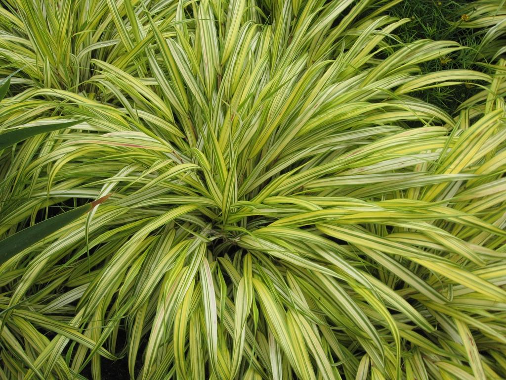 Hakonechloa macra 'Alboaurea' leaves