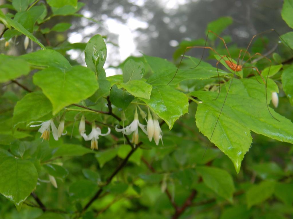 Halesia diptera