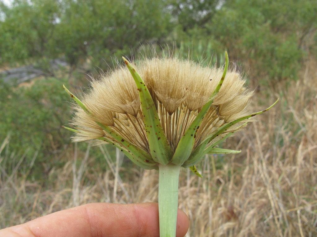 T. porrifolius
