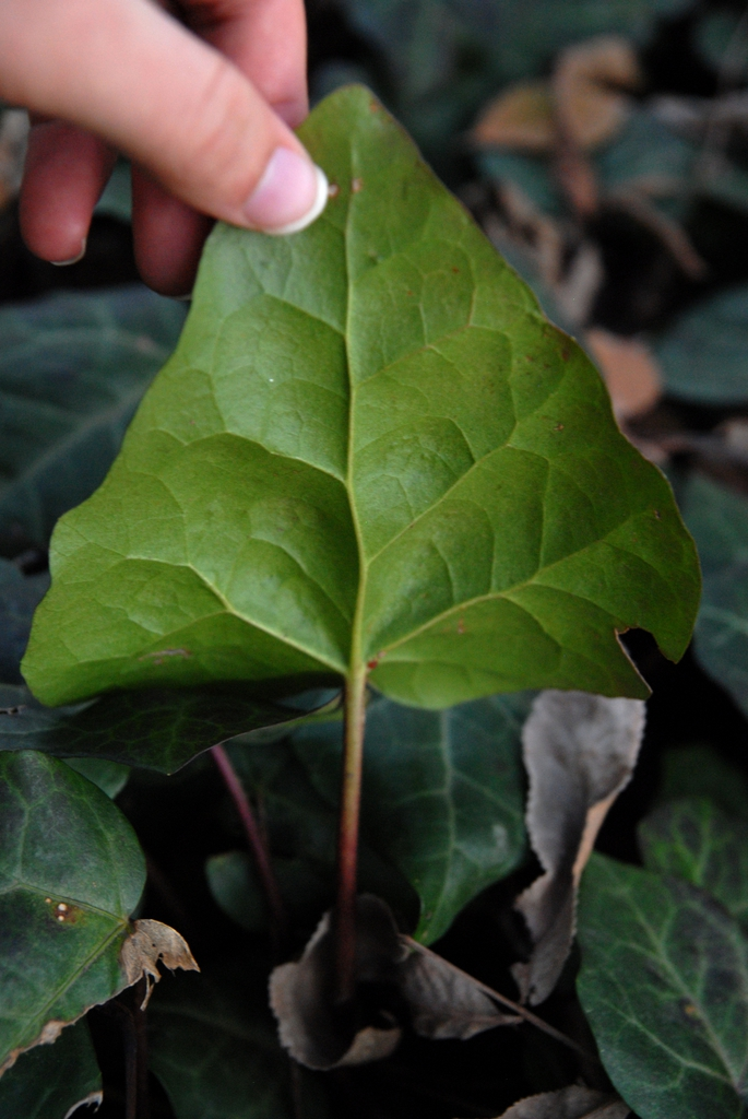 Hedera colchia under leaf during winter