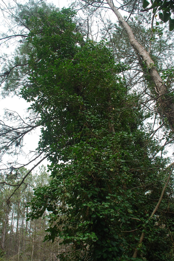 Growing in a tree (Kershaw County, SC)-Early Spring