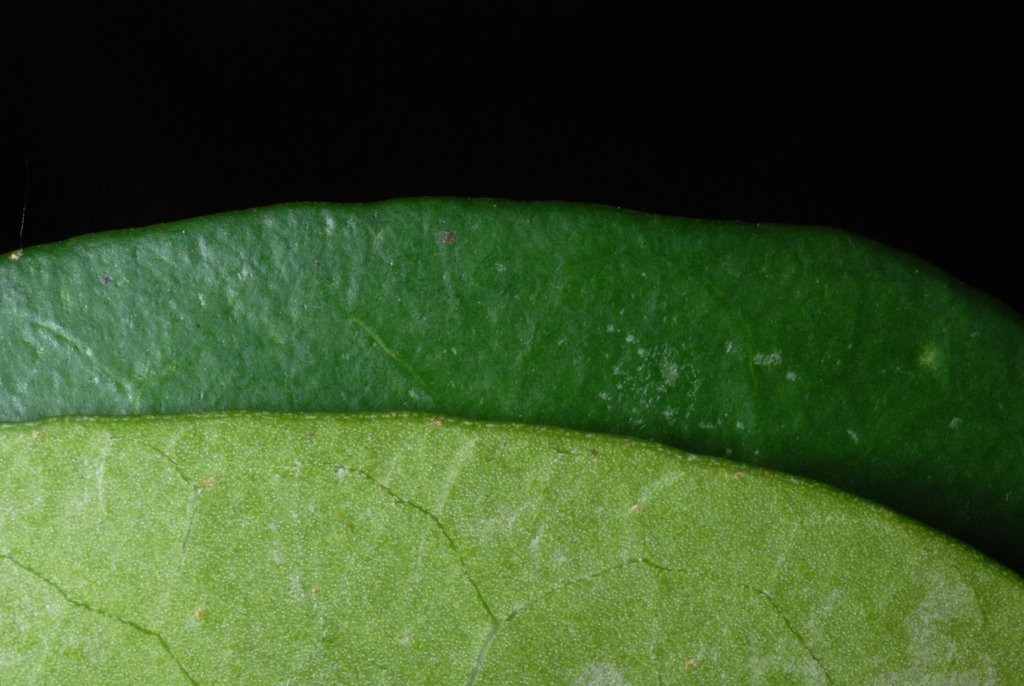 Front and back of leaf (Kershaw County, SC)-Early Spring