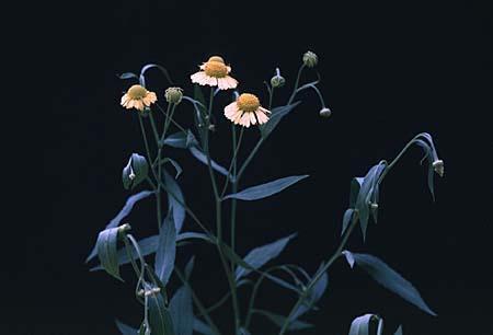 Helenium spp.