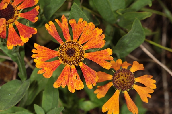 (Helenium autumnale) 'Moerheim Beauty'