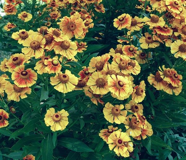 Helenium autumnale 'Striatum'