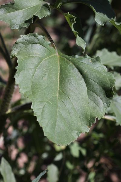Helianthus annuus