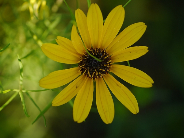 Narrow Leaf Sunflower