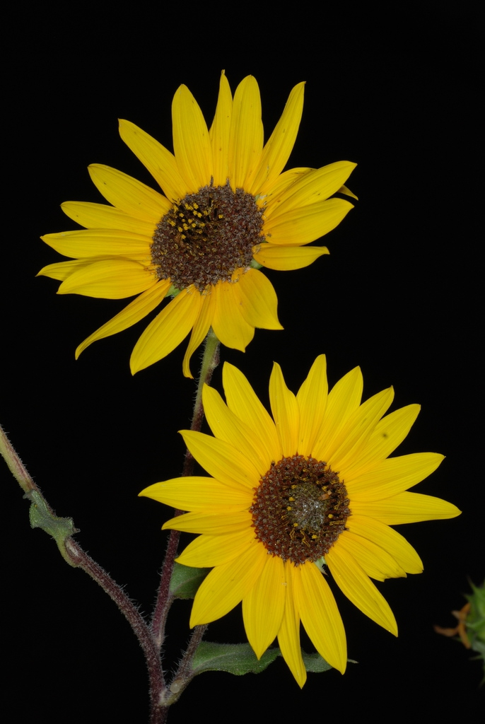 Yellow flowers (Dacono, CO)-Late Summer
