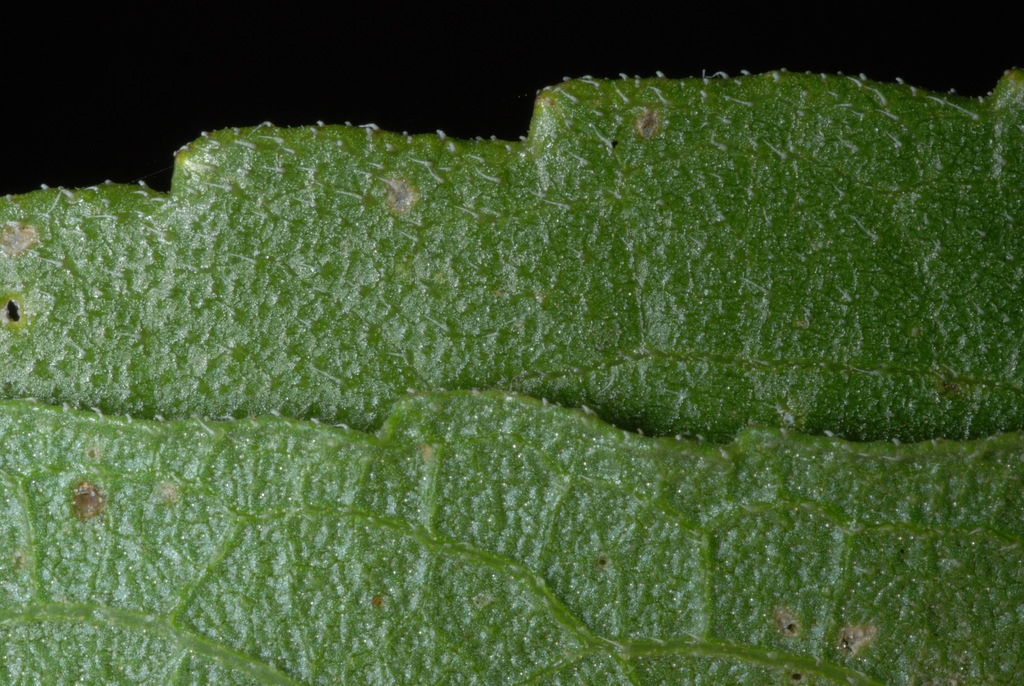 Dentate leaf margin (Dacono, CO)-Late Summer