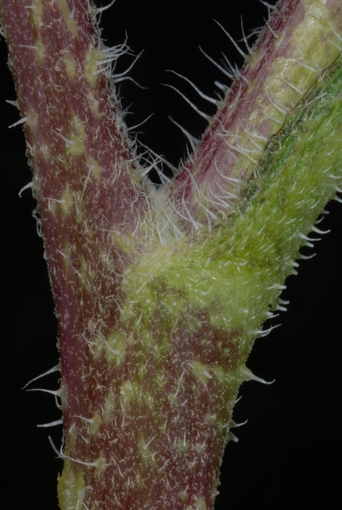 Hairy stem (Dacono, CO)-Late Summer