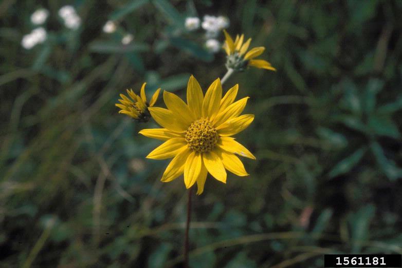 Helianthus occidentalis ssp. occidentalis
