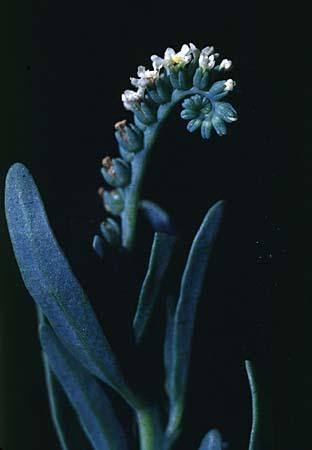Heliotropium spp.