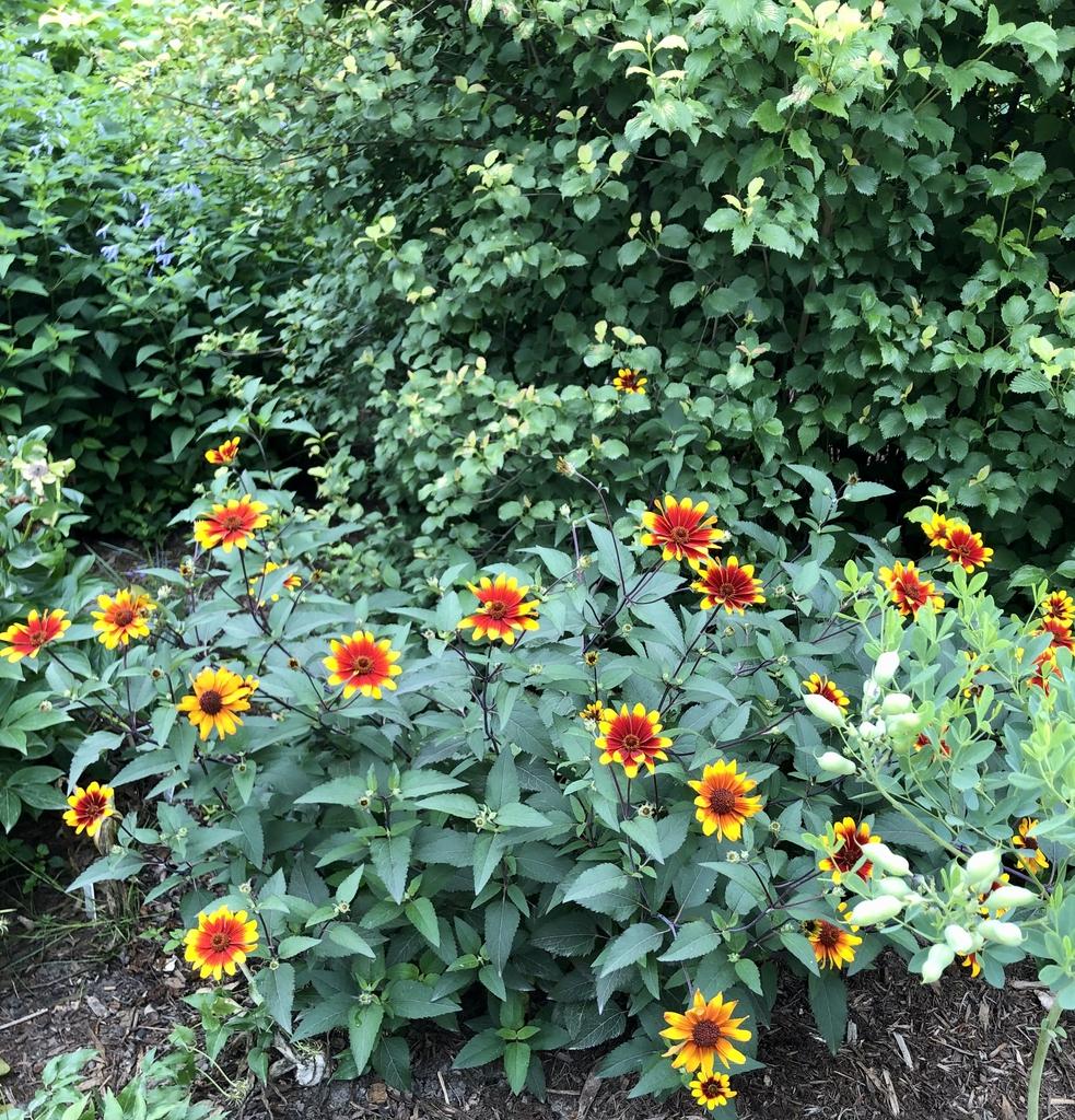 Heliopsis - Burning Hearts - False Sunflower - Wake County