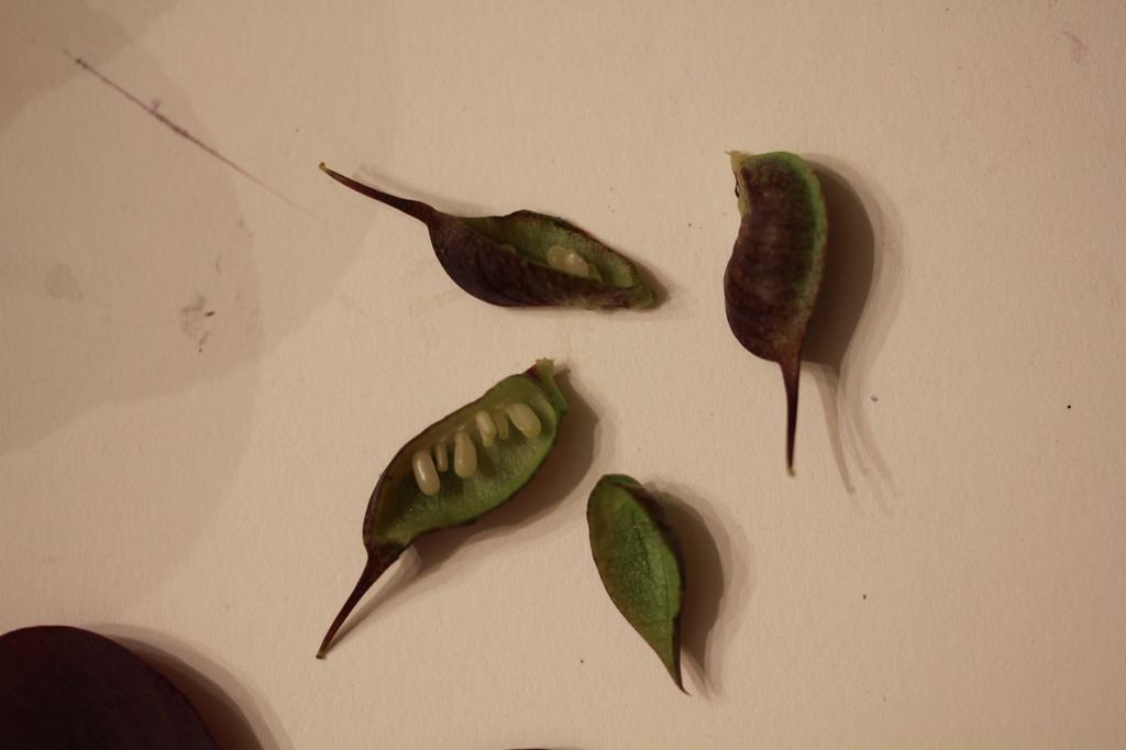 Hellebore Seeds