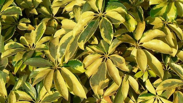 Heptapleurum arboricola