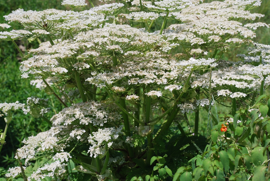 Flower form (Boone, NC)-Mid Summer