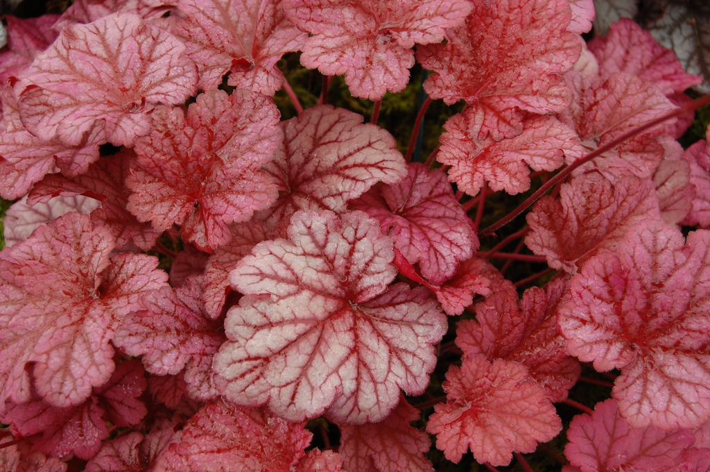 Heuchera 'Berry Smoothie' leaves