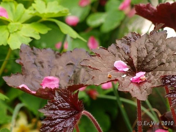 Heuchera 'Palace Purple' leaf