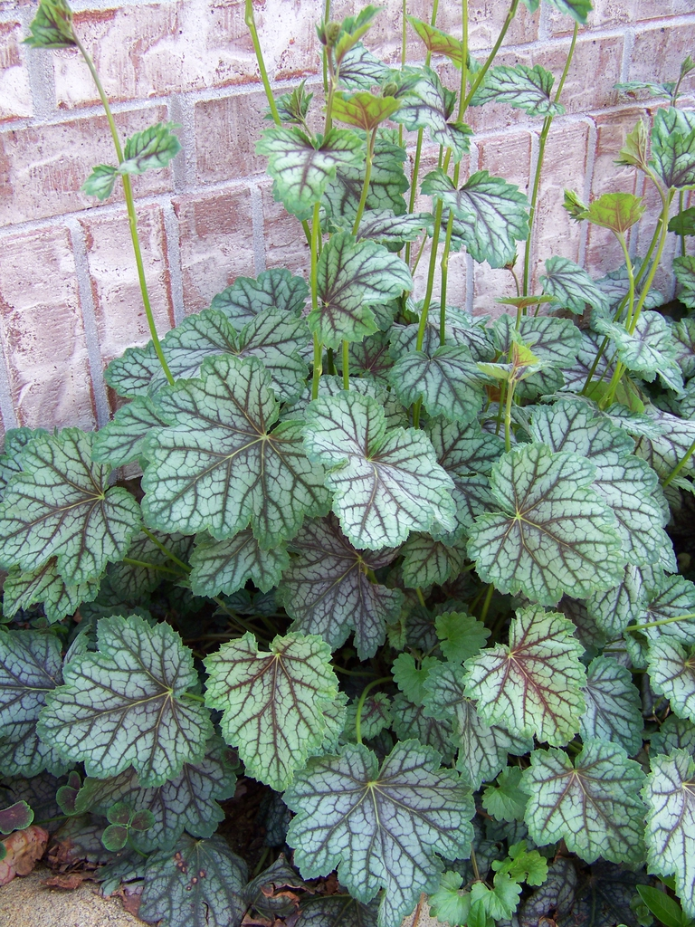 Heuchera americana leaves