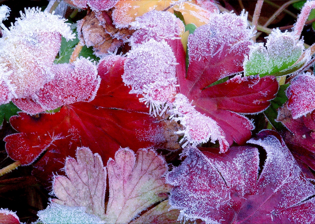 Heuchera leaves with frost