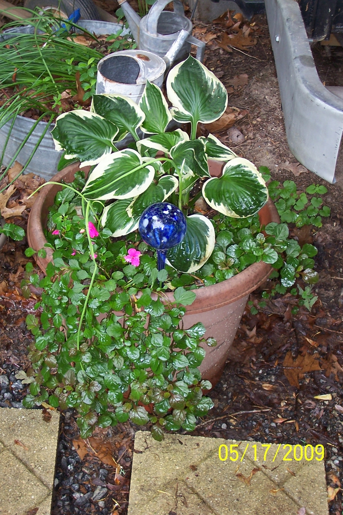 """'Patriot"""" (with Ajuga reptans), spring, Iredell County, NC"""