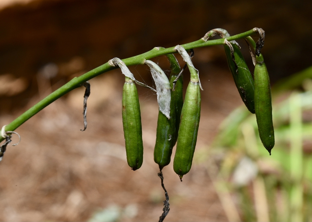 Seed pods - September - Wake Co., NC