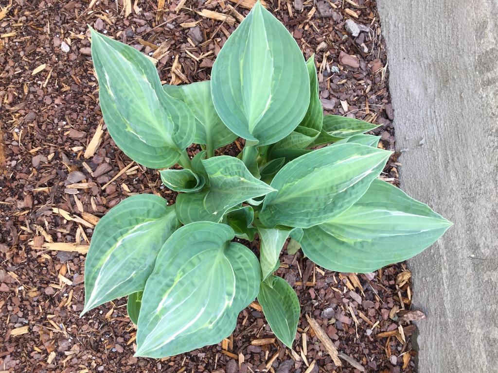 'Kiwi Full Monty' emerging plant, spring, Durham County, NC