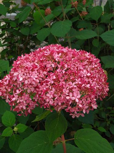 Hydrangea arborescens 'Invincibelle Spirit