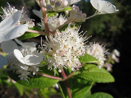'Tardiva' bloom