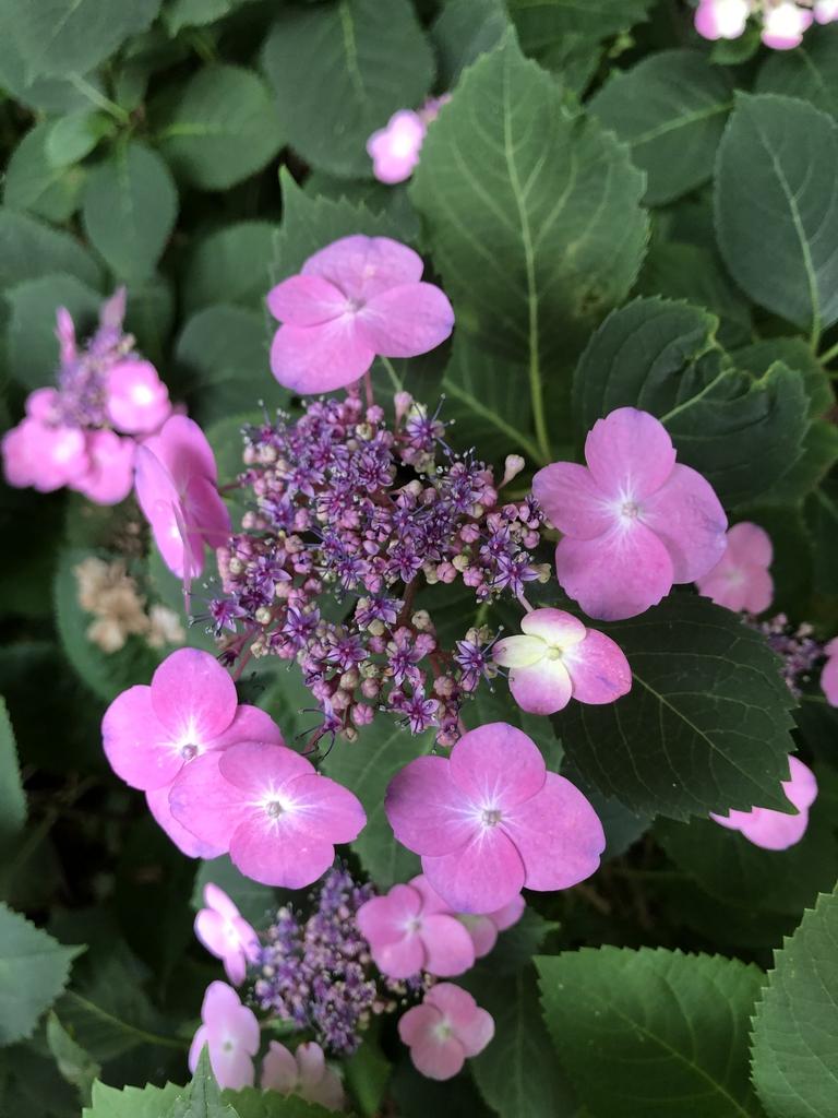 Hydrangea Serrata 'Tuff Stuff' flowers (Wake County, NC)
