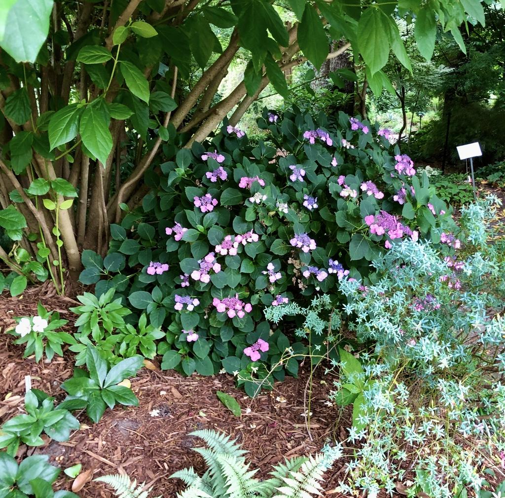 Hydrangea Serrata 'Tuff Stuff' form (Wake County, NC)