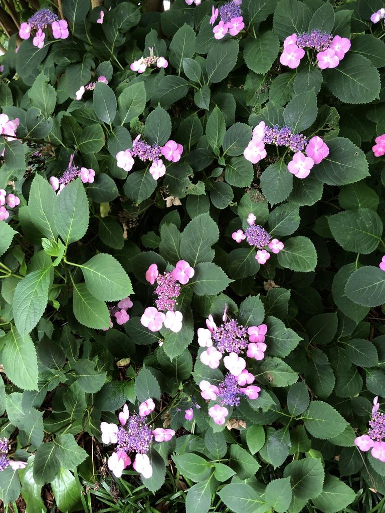 Hydrangea Serrata leaves and flowers (Wake County, NC)