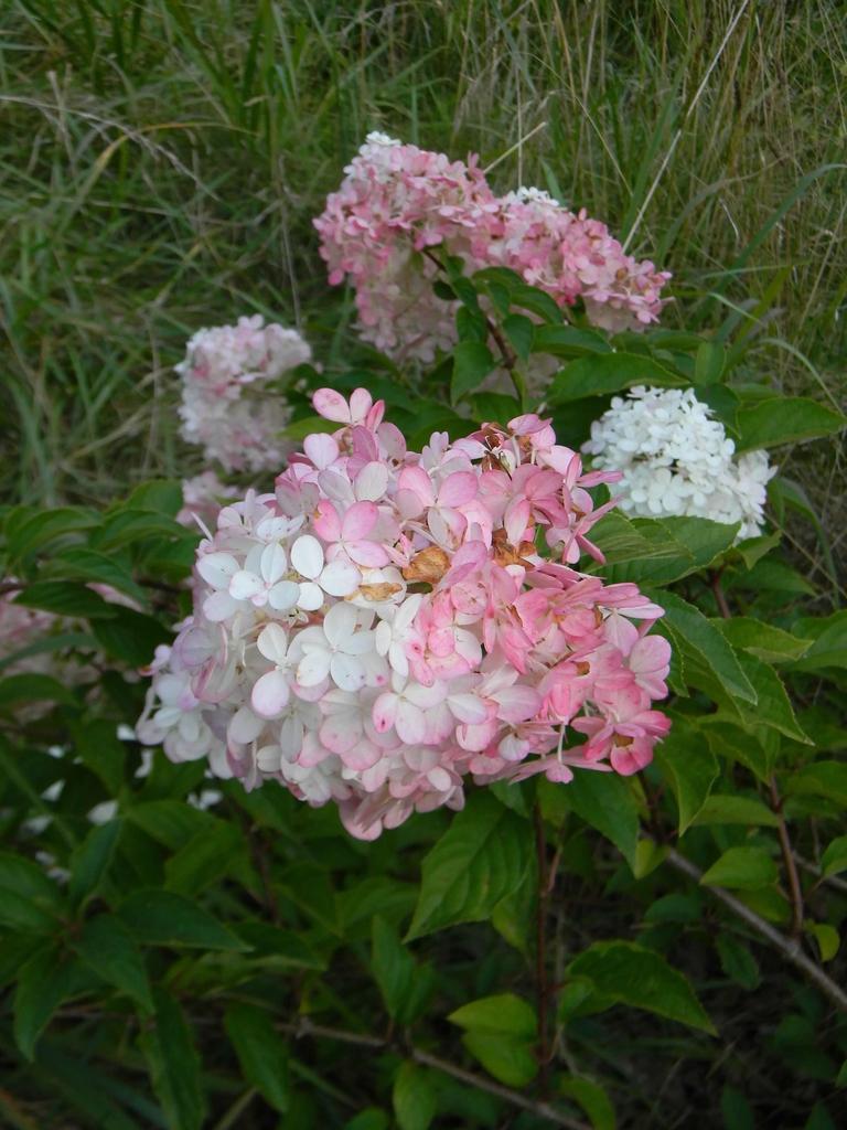 'Renhy' bi-color flowers (Buncombe County, NC)