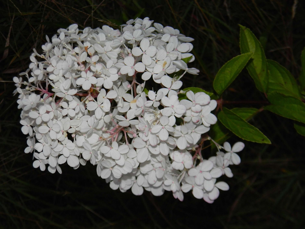 'Renhy' flowers (Buncombe County, NC)