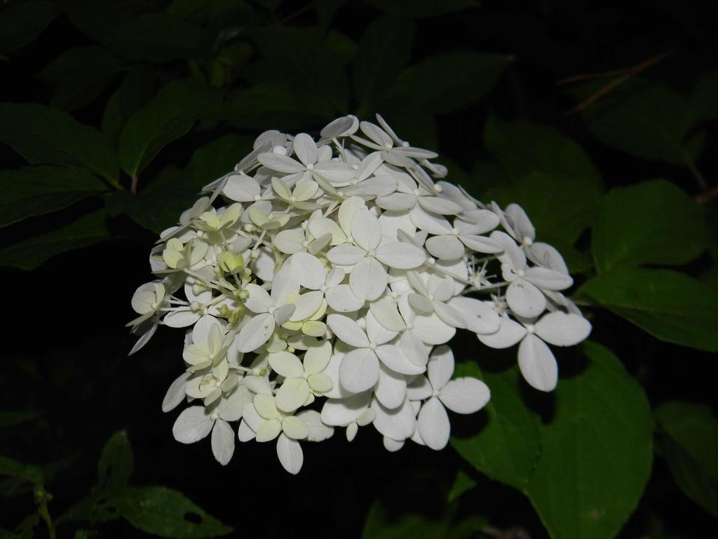 Hydrangea paniculata 'Limelight'