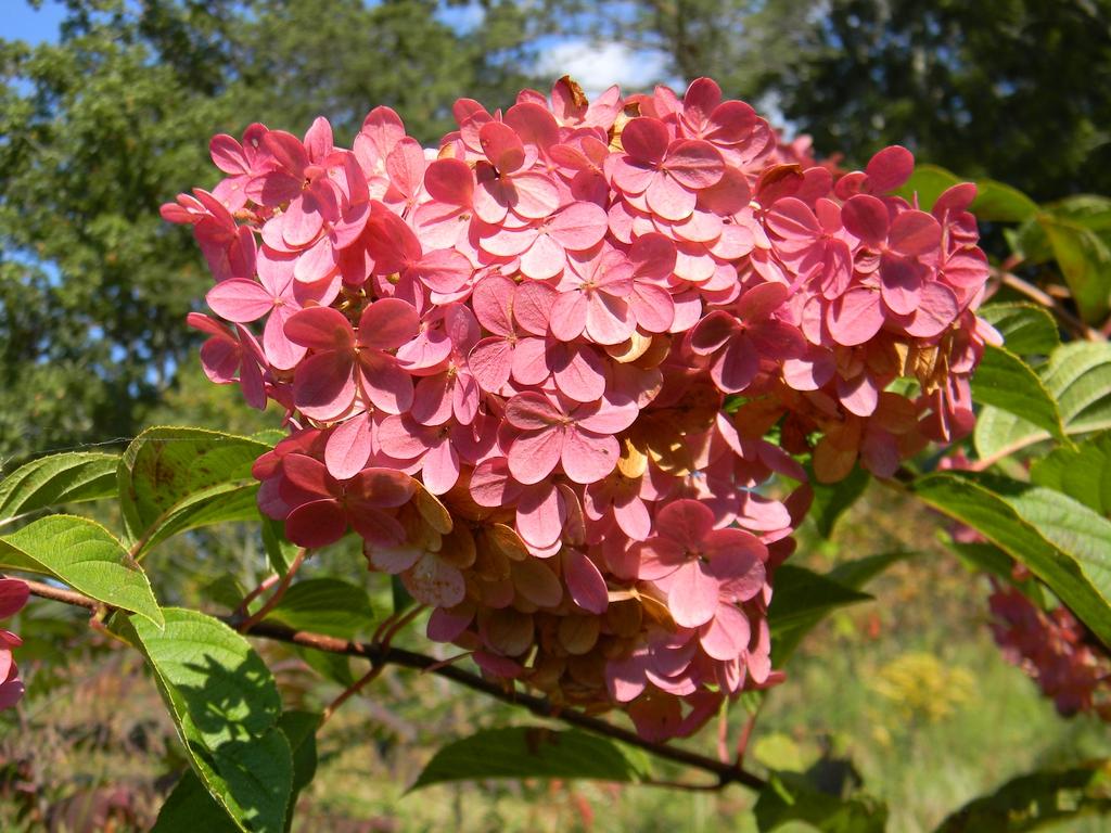 'Rensun' flowers close-Up (Buncombe County,NC)