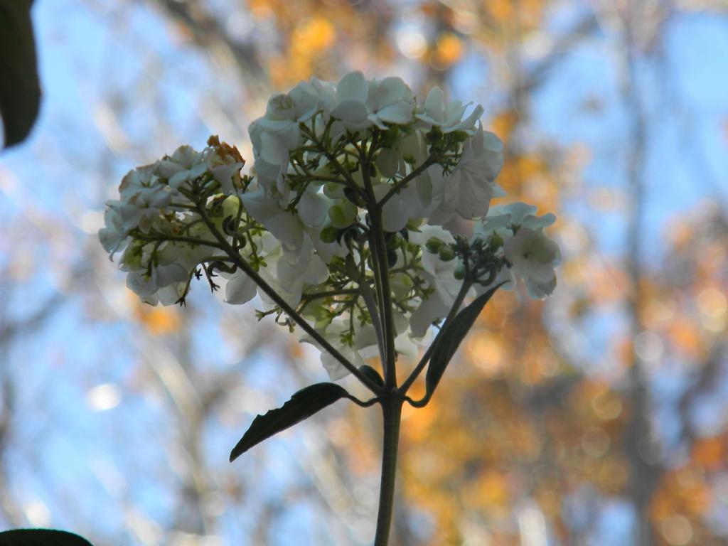 Hydrangea quercifolia 'Flemygea'